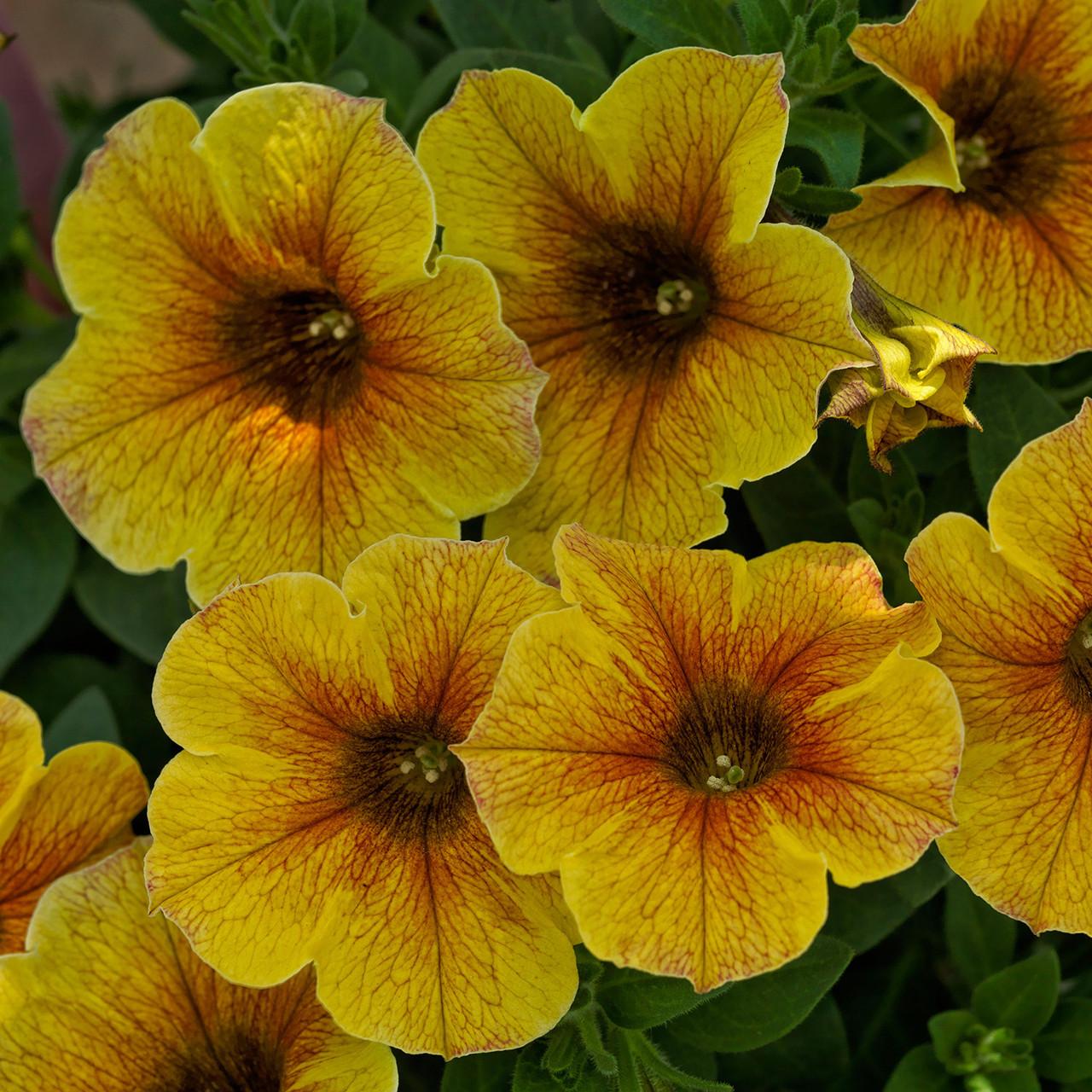 Petchoa BeautiCal Caramel Yellow подрощенное растение