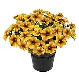Petchoa BeautiCal Caramel Yellow подрощенное растение, фото 2