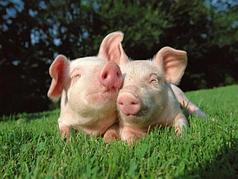 Для свиноводства