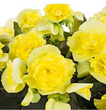 Solenia Yellow N 328 / укор.черенок, фото 2
