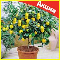 Комнатные плодовые мини-деревья (лимон, апельсин, киви, вишня, гранат, мандарин, груша)