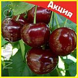 Комнатные плодовые мини-деревья (лимон, апельсин, киви, вишня, гранат, мандарин, груша), фото 2