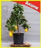 Комнатные плодовые мини-деревья (лимон, апельсин, киви, вишня, гранат, мандарин, груша), фото 4