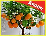Комнатные плодовые мини-деревья (лимон, апельсин, киви, вишня, гранат, мандарин, груша), фото 6