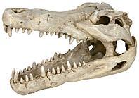 Крокодиловый череп