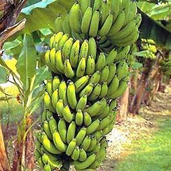 Банан карликовый Gran Nain