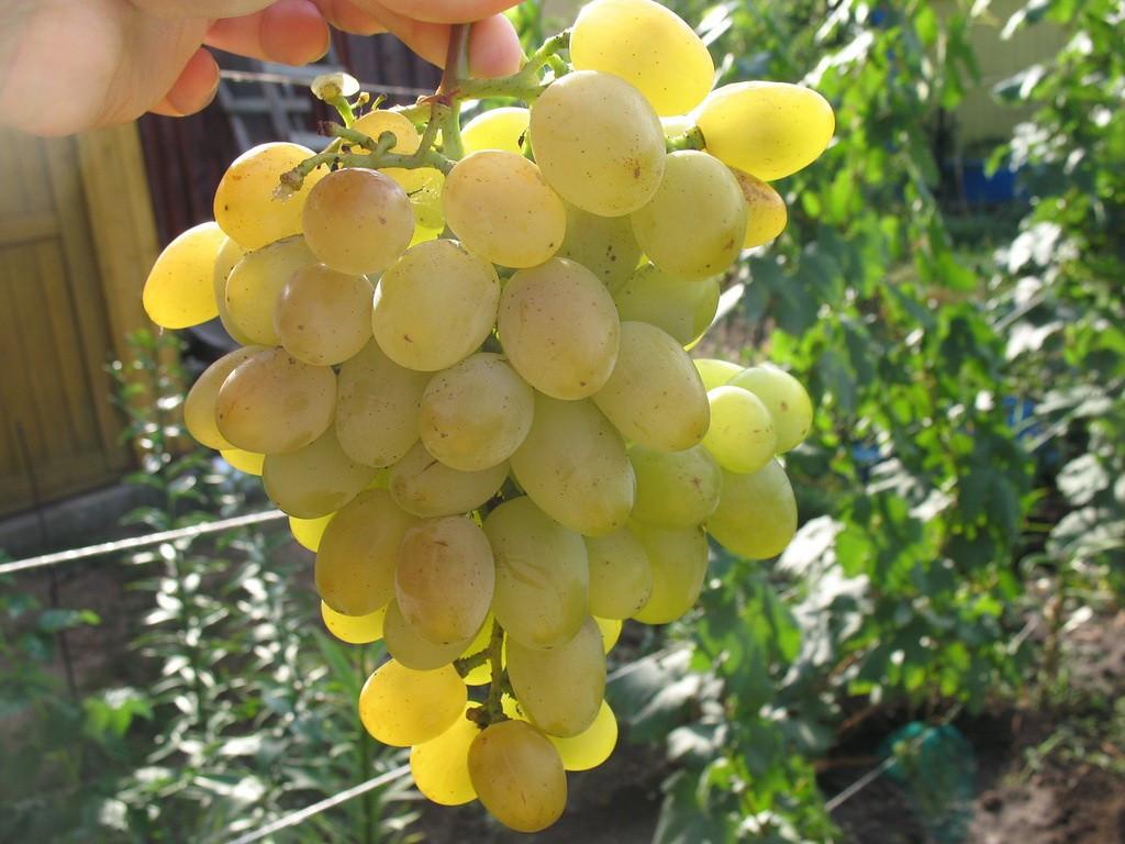Виноград сорт Восторг