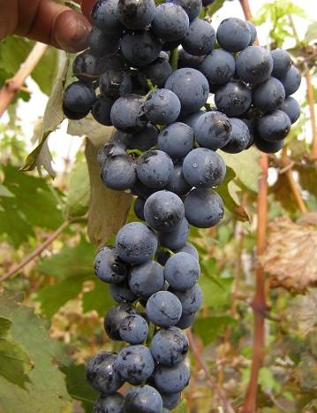 Виноград сорт Гленора