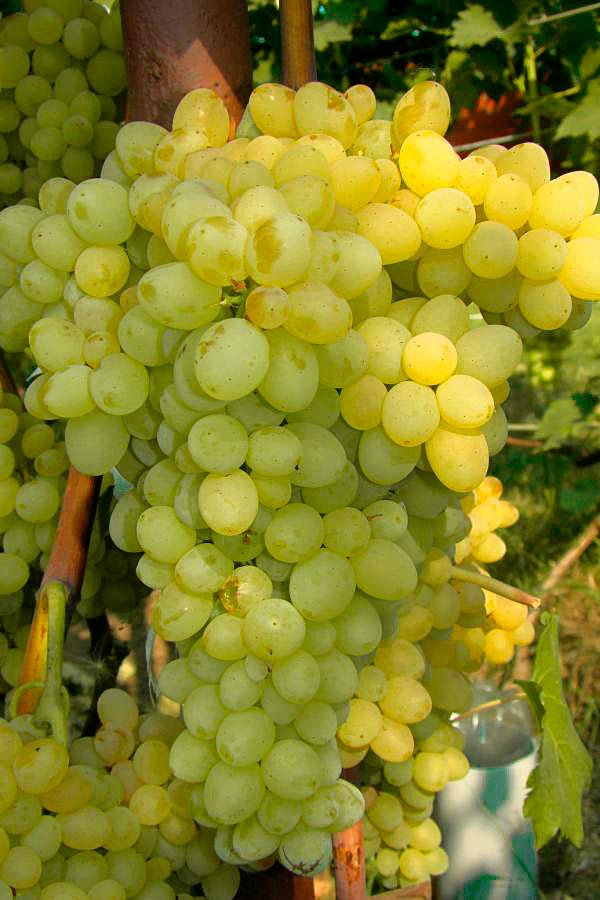 Виноград сорт Кишмиш 342