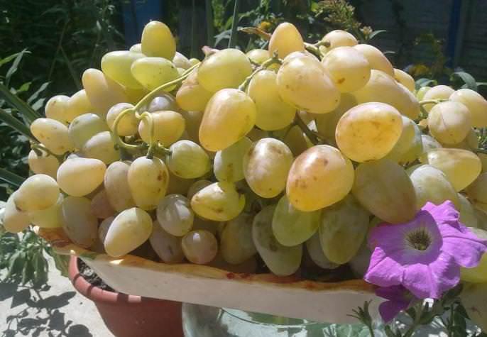 Виноград сорт Монарх