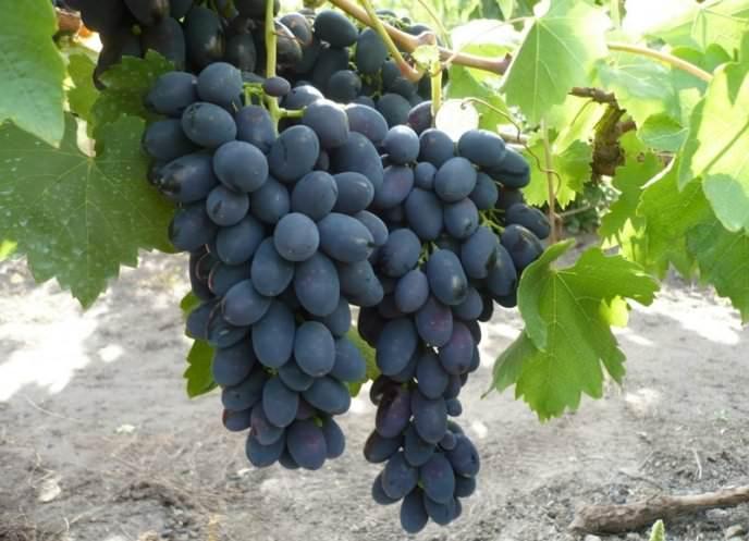 Виноград сорт Надежда Азос