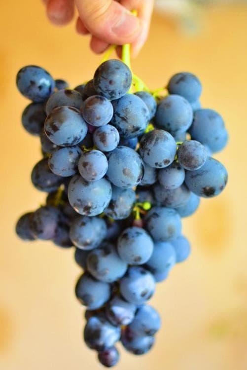 Виноград сорт Страшенский