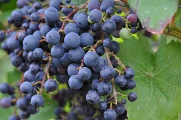 Виноград сорт Фиолетовый ранний