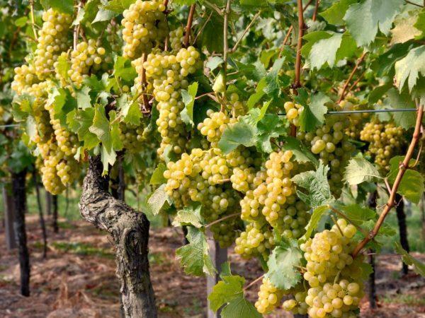 Виноград сорт Гечеи Заматош