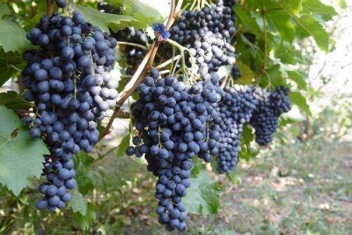 Виноград сорт Красень