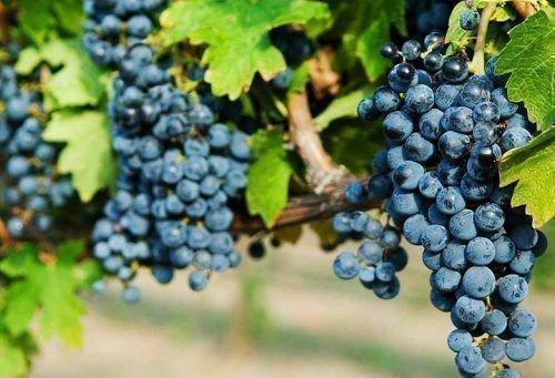 Виноград сорт Одесский Чёрный
