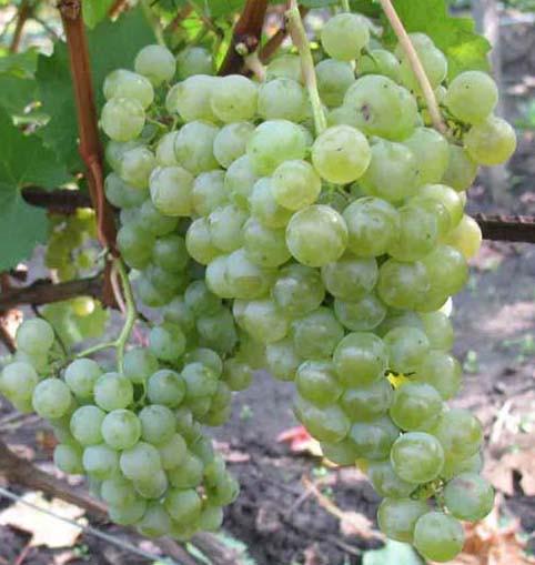 Виноград сорт Цитронный магарач