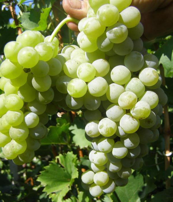 Виноград сорт Цветочный