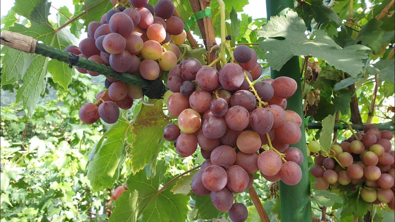 Виноград сорт Лада Т