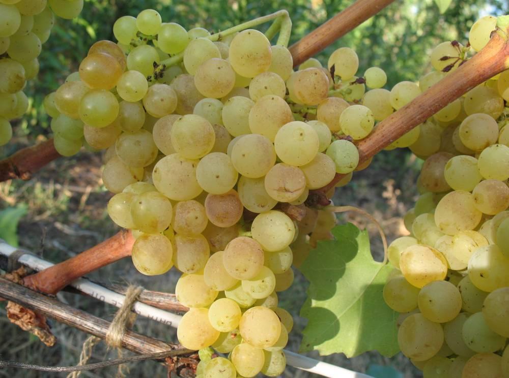 Виноград сорт Кишмиш Белый устойчивый
