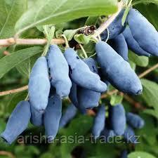 Саженец жимолость плодовая Голубое веретено