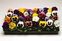 """Виола крупноцветковая Матрикс Микс семена цветов Viola wittrockiana Matrix Mix 100шт """"Поиск"""" Россия"""