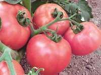 Оптовая продажа томатов