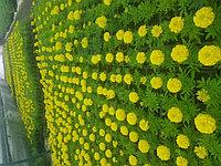 Однолетние цветы (рассада)