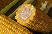 Семена сахарной кукурузы Синдон F1
