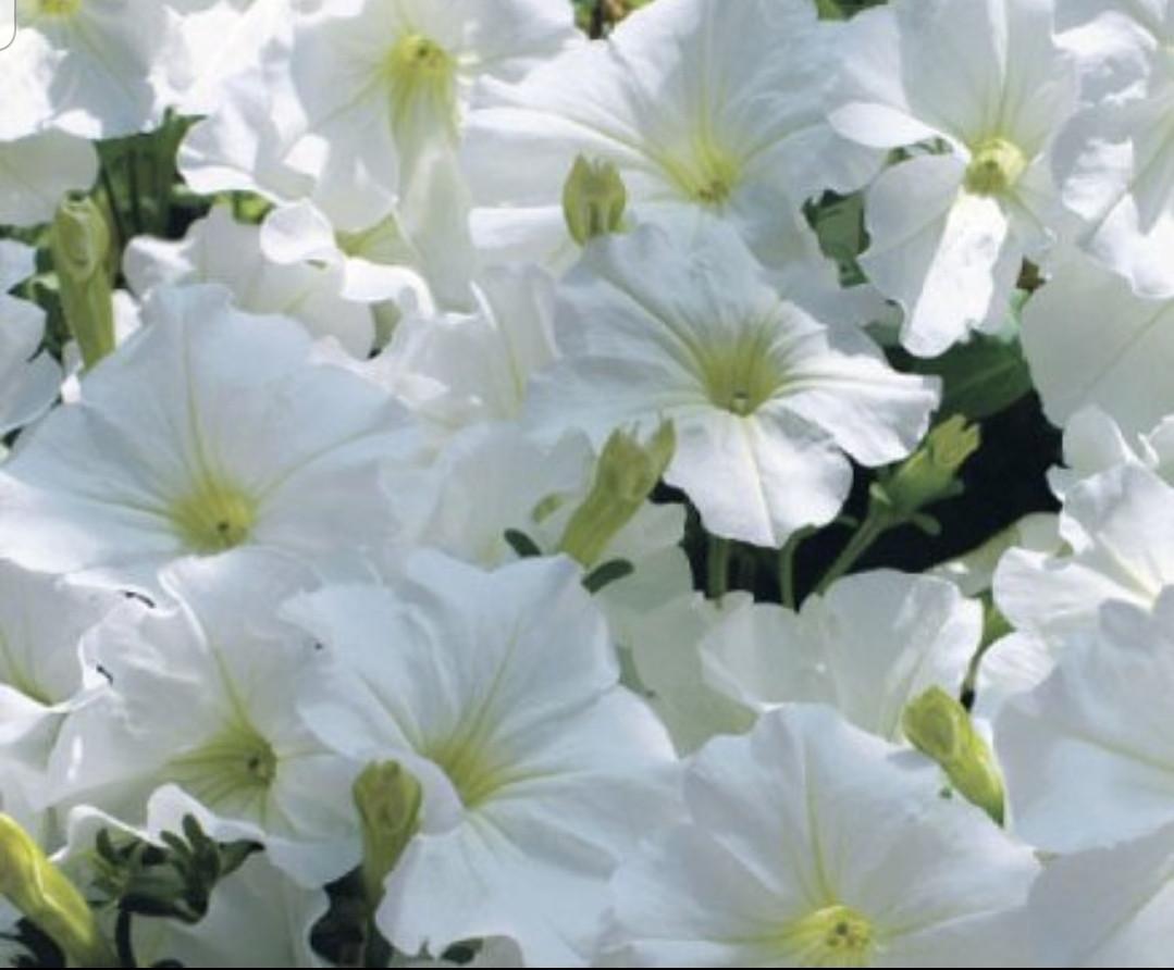 Surfinia White