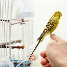 Домашние декоративные птицы