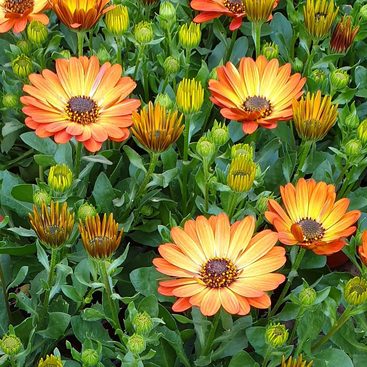 Margarita Orange Flare №602