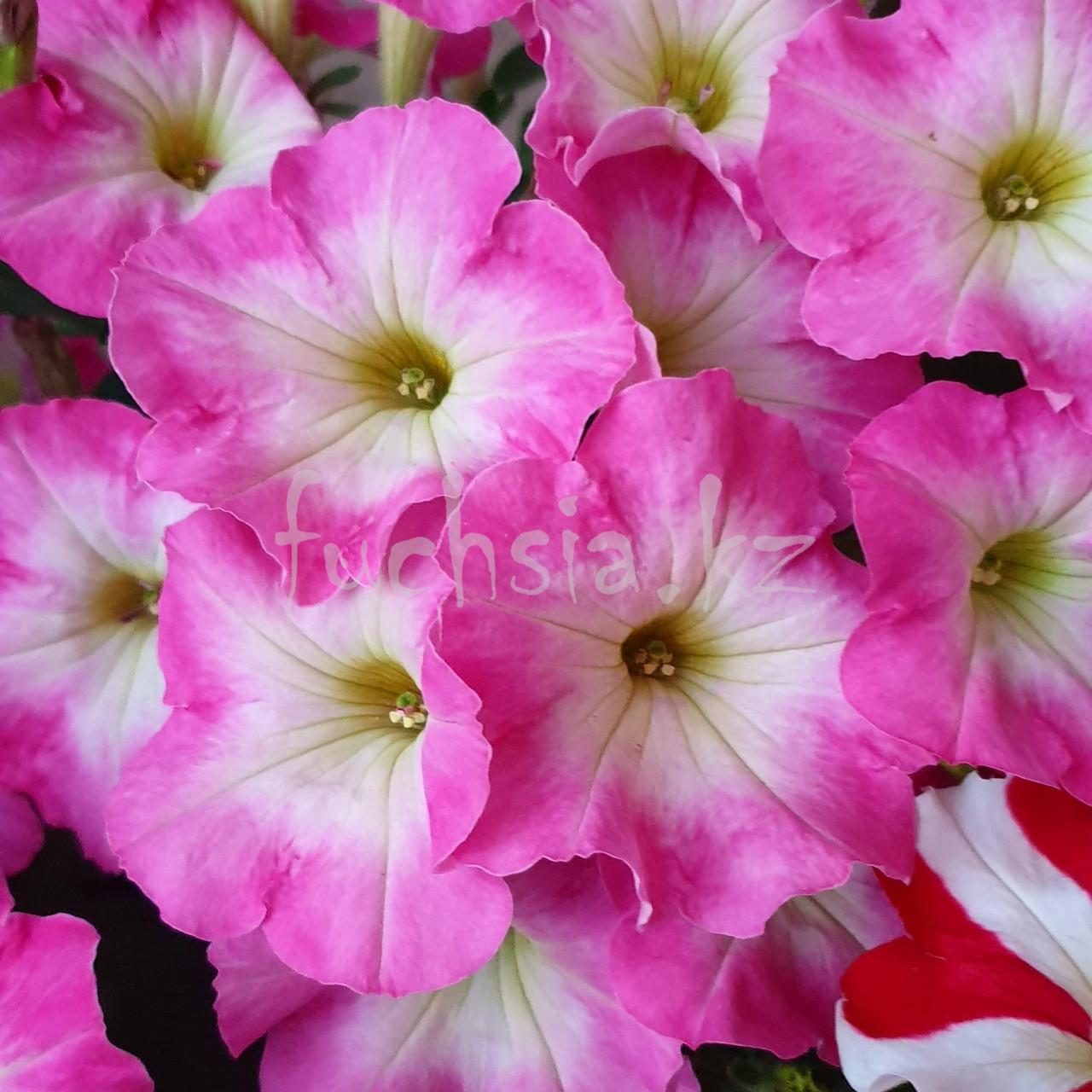 Viva Pinkceptional №526 / подрощенное растение