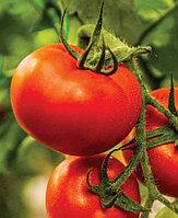 Семена томата RED BOSS F1