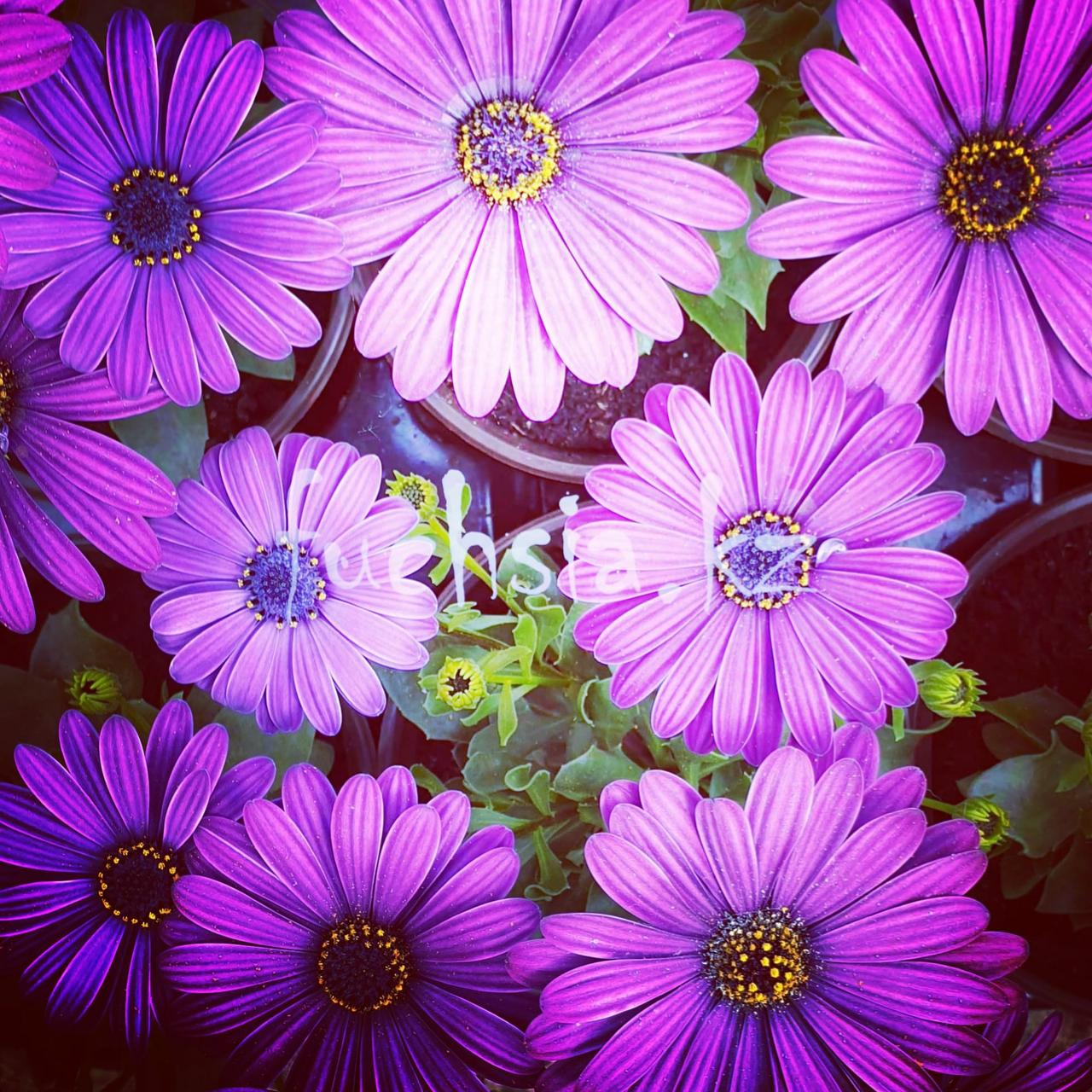 Margarita Cool Purple №601/ укор.черенок
