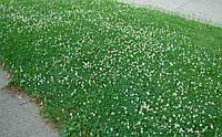 Газон.Клевер белый ползучий (Trifolium repens)