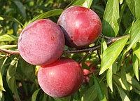 Слива диплоидная Руби КранчRuby Crunch