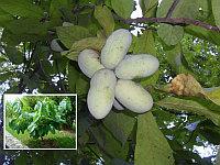 Азимина трилоба банановое дерево сорт Sun-Glo