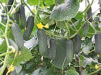 Семена огурцов Корнишонные Гуннар F1 (1000 шт)