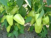 Семена Переца сладкий Конусовидный Лотта F1