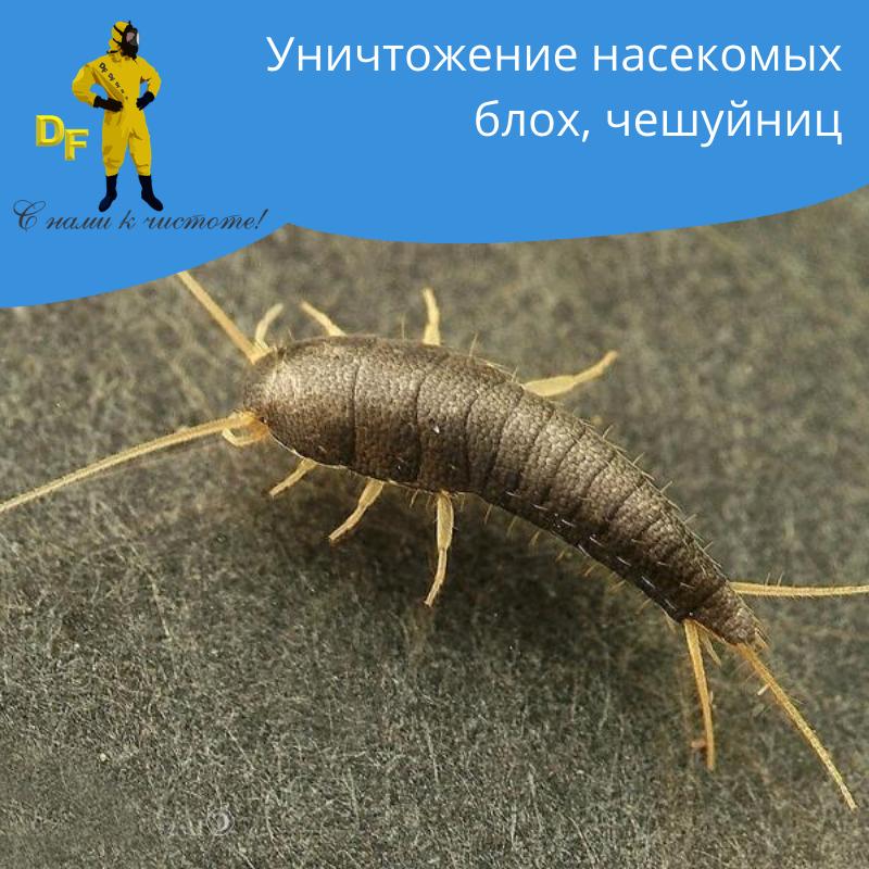 Уничтожение насекомых блох чешуйниц дезинсекция