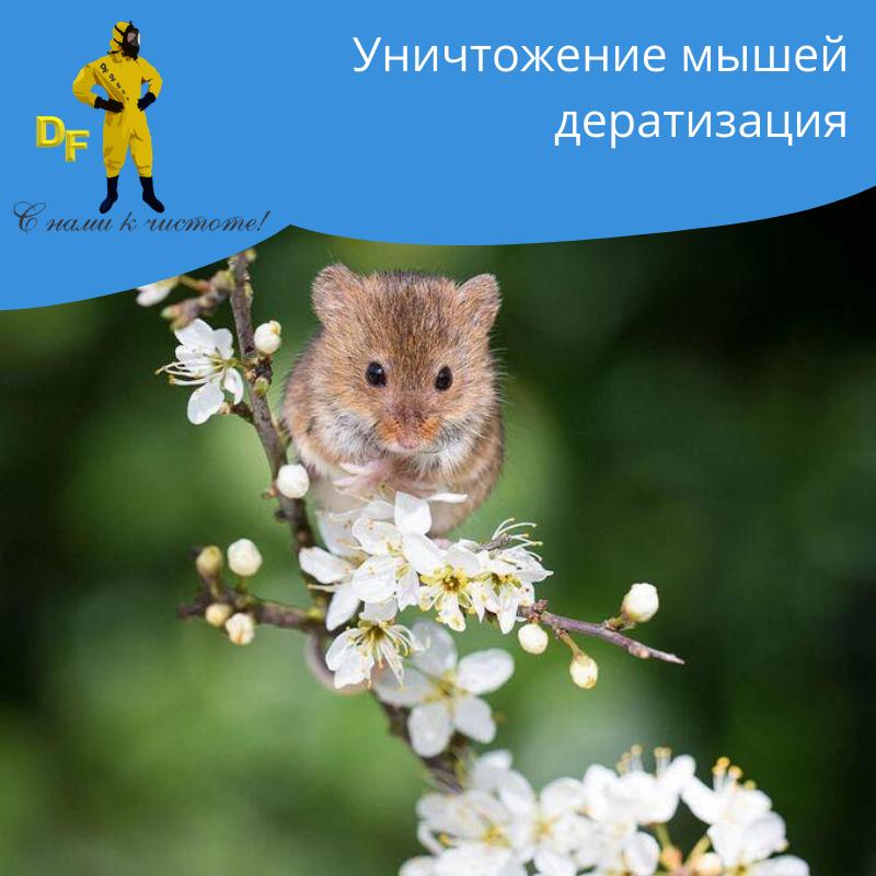 Уничтожение мышей дератизация - фото 1