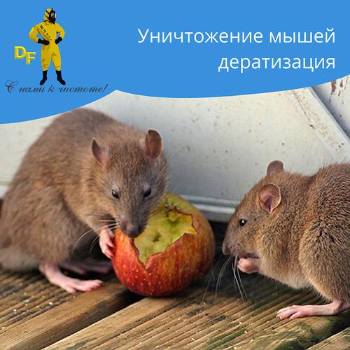 Уничтожение мышей дератизация