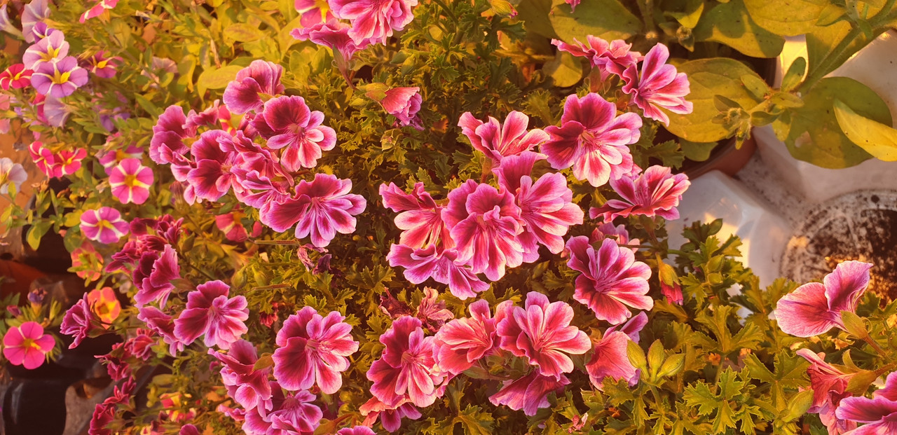 Bekswell Rosette / подрощенное растение