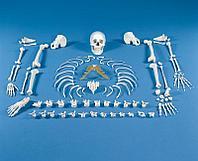 Скелет в разобранном виде (набор костей)