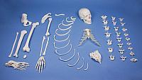 Половина скелета, в разобранном виде (набор костей)