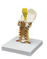 Шейный отдел позвоночника с мышцами шеи.