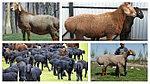 Эффективность препарата на основе дорамектина при псороптозе овец ( накожная чесотка)