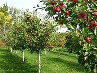 Прививка ( Колеровка) деревьев и кустарников