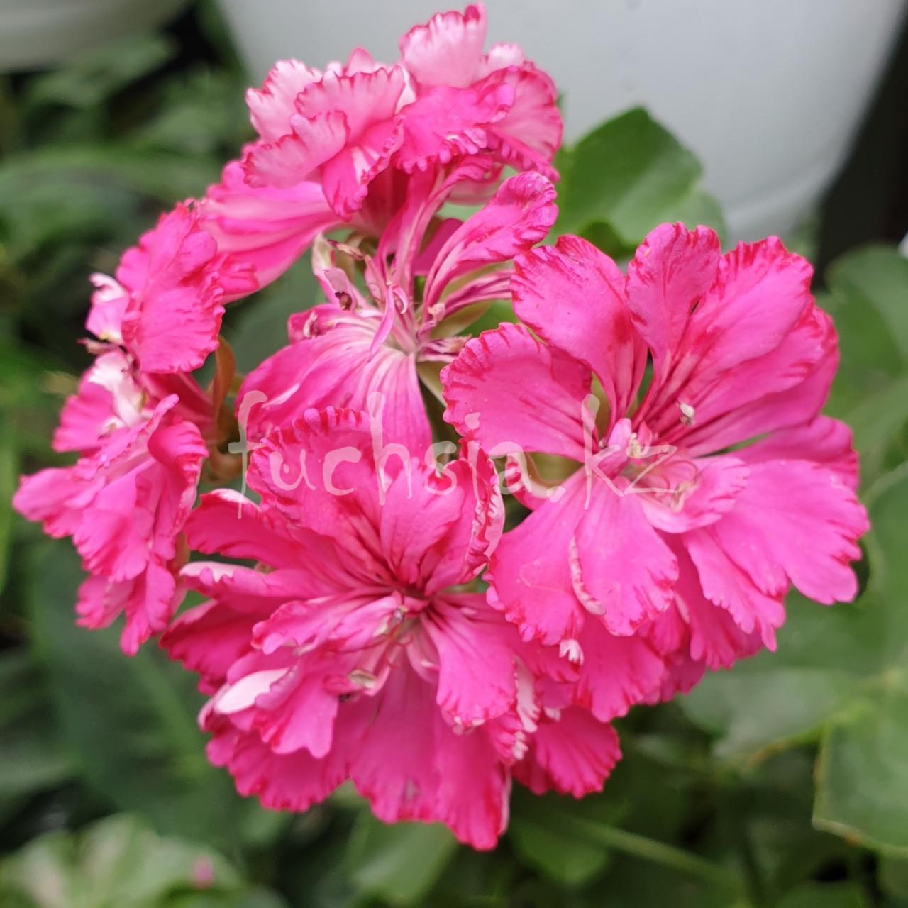 Cerize Carnation